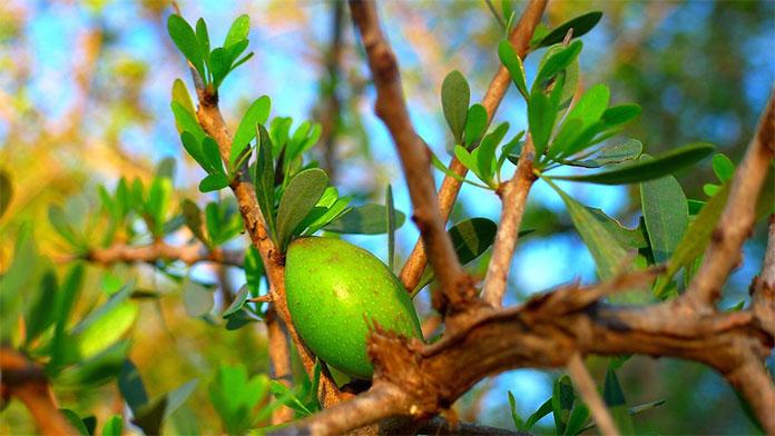 owoc arganowca