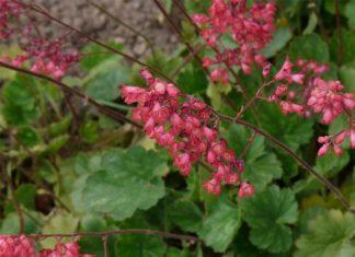 kwiaty żurawki